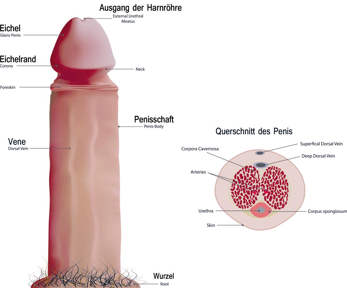 Dicker Penis Umfang